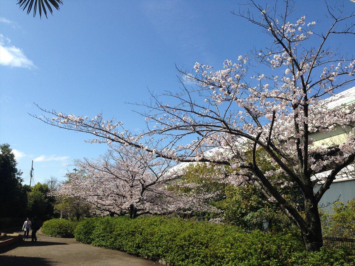 ハワイの桜と言えば… ワヒアワ本願寺